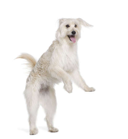 Pyrenean Shepherd, 2 years old, standing in front of white background, studio shot Stock Photo - 5912031