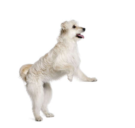 Pyrenean Shepherd, 2 years old, standing in front of white background, studio shot photo