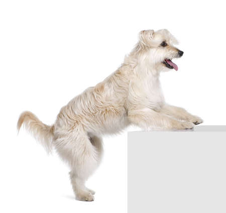 Pyrenean Shepherd, 2 years old, standing near pedestal in front of white background, studio shot photo