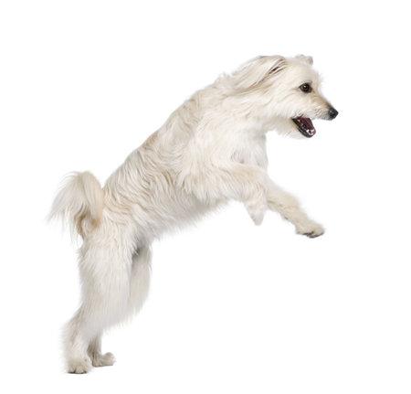 perro corriendo: Pastor de los Pirineos, 2 a�os de edad, saltando delante de fondo blanco, disparo de estudio