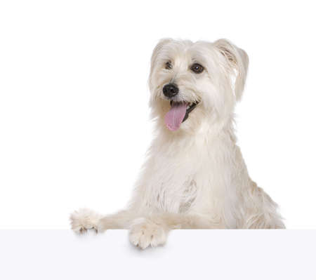 Pyrenean Shepherd, 2 years old, in front of white background, studio shot Stock Photo - 5911943