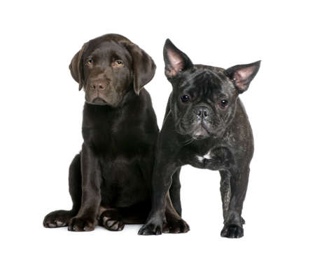 French Bulldog, 1 year old, and Labrador puppy, 10 weeks old, sitting in front of white background photo