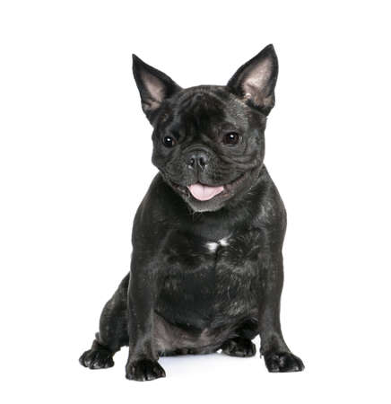 French Bulldog, 1 year old, sitting in front of white background, studio shot photo