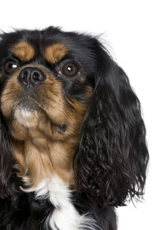 Cavalier King Charles Spaniel, 2 years old, sitting in front of white background Stock Photo - 5912198