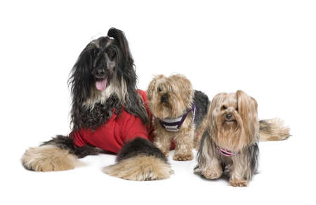 Afghan Hound and Yorkshire dogs sitting in front of white background, studio shot photo