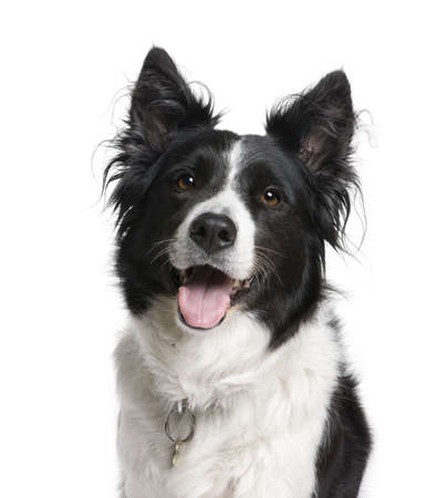 Border Collie, 7 years old, sitting in front of white background, studio shot photo