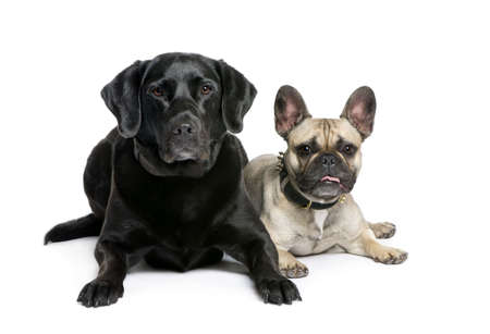 French Bulldog and Labrador sitting in front of white background, studio shot photo