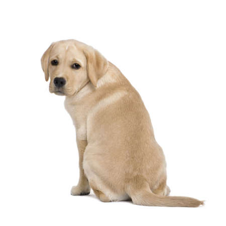 looking behind: Cream Labrador puppy, 14 weeks old, sitting in front of white background, studio shot