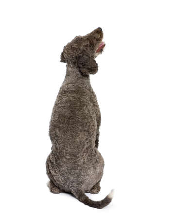 Rear view of Spanish water spaniel dog, 3 years old, sitting in front of white background photo
