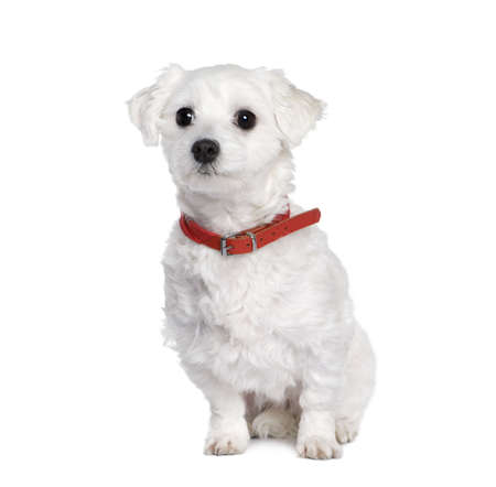 Maltese dog, Bichon, 4 years old, sitting in front of white background, studio shot photo