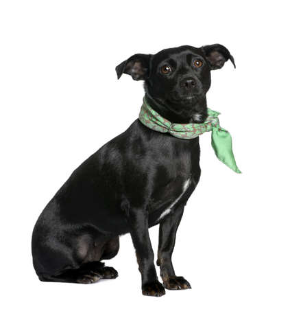 Mixed breed dog between a Chihuahua and a Dachshund, sitting in front of white background Stock Photo - 5912259