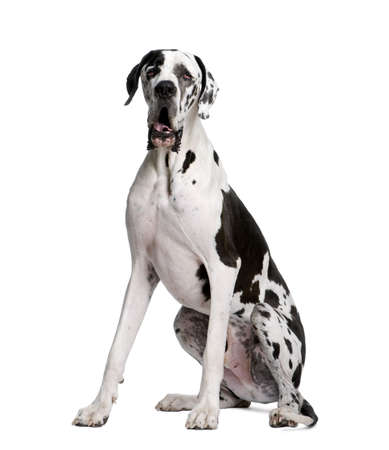 spotted dog: Arlequin Great Dane, 2 years old, sitting in front of white background, studio shot Stock Photo