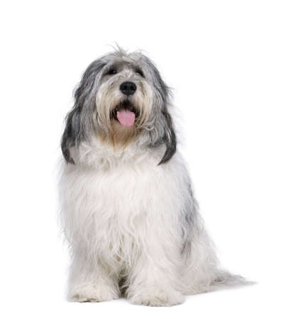 hairy adorable: Polish Lowland Sheepdog, 2 years old, sitting in front of white background, studio shot Stock Photo