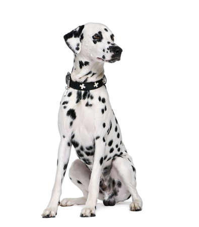 dog collar: Dalmatian, 2 years old, sitting in front of white background, studio shot Stock Photo