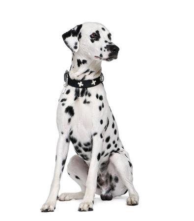 dalmatier: Dalmatische, 2 jaar oud, zitten in de voorkant van de witte achtergrond, studio shot