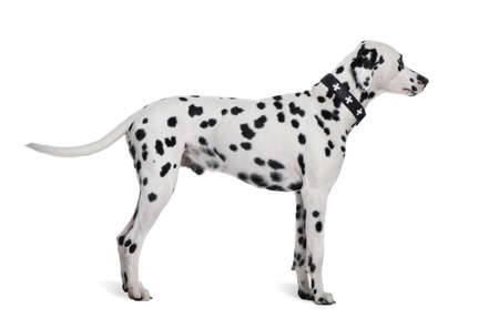 Dalmatian, 2 years old, standing in front of white background, studio shot photo