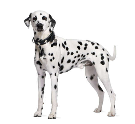 isolated spot: Dalmatian, 2 years old, standing in front of white background, studio shot