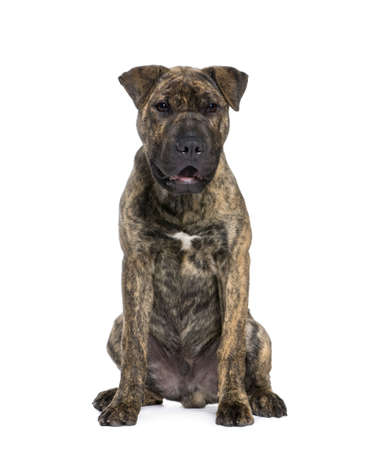 Mixed-breed dog, 4 months old, sitting in front of white background, studio shot photo