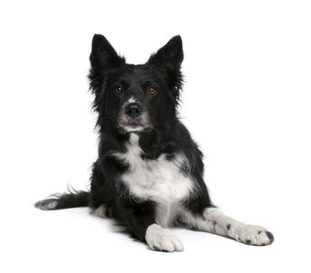 Border Collie, 6 years old, sitting in front of white background, studio shot photo