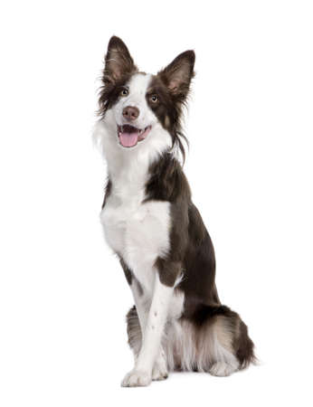 Border Collie, 1 year old, sitting in front of white background, studio shot photo