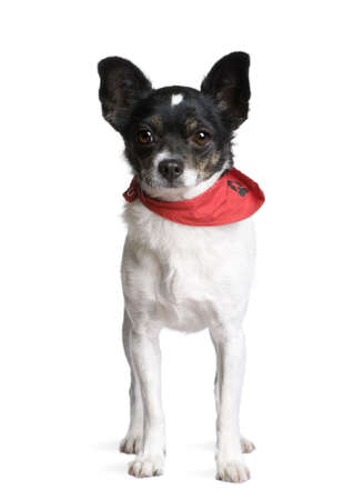 Dog in red handkerchief standing in front of white background, studio shot photo
