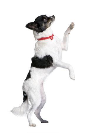Bastard dog in red handkerchief walking on hind legs in front of white background, studio shot photo