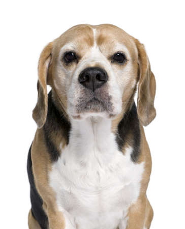 Beagle, 9 years old, sitting in front of white background, studio shot photo