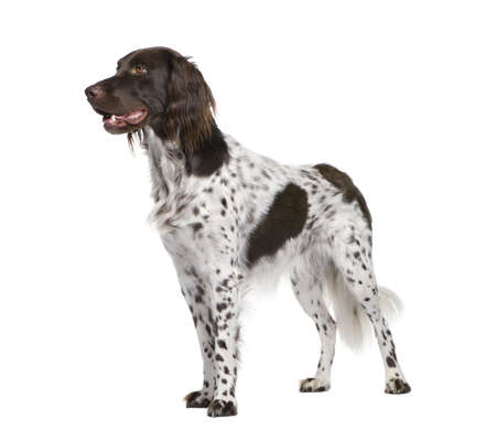 spotted dog: Small Munsterlander dog, 2 years old, standing in front of white background, studio shot