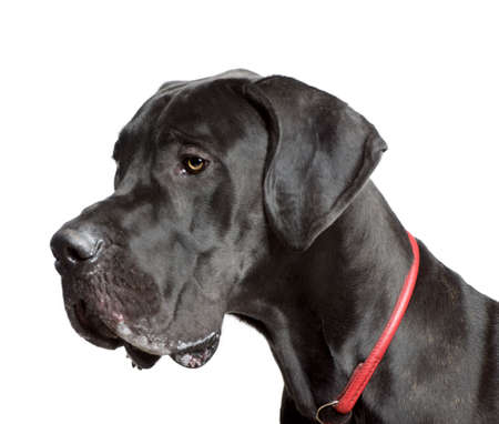 head collar: Great Dane, 11 months old, in front of white background, studio shot
