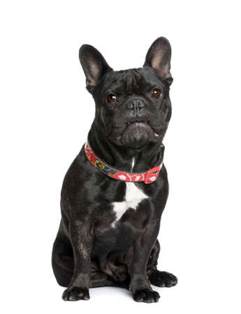 French bulldog, 5 years old, sitting in front of white background, studio shot photo