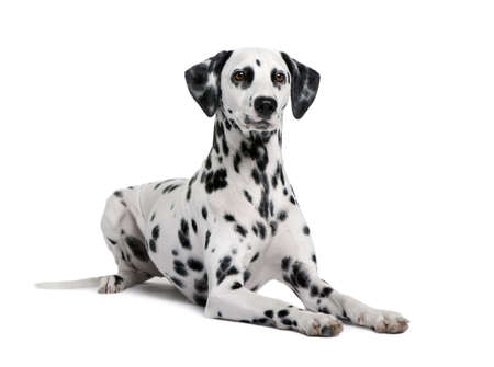 Dalmatian, 15 months old, sitting in front of white background, studio shot Stock Photo - 5912153