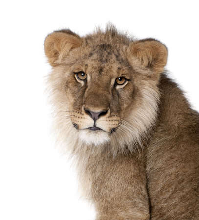 Lion, Panthera leo, 9 months old, in front of a white background, studio shot photo