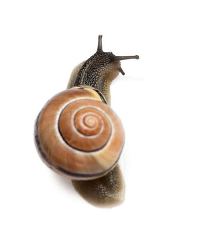 mucus: Garden snail in front of a white background, studio shot Stock Photo