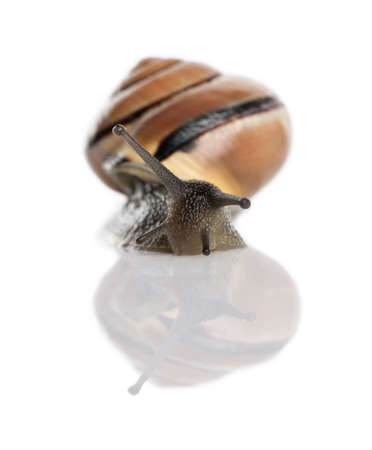 Garden snail in front of a white background, studio shot photo