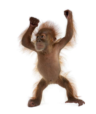 Baby Sumatran Orangutan, 4 months old, standing in front of white background Stock Photo