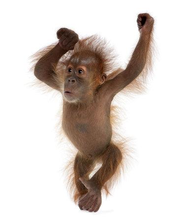 orangutang: Baby Sumatran Orangutan, 4 months old, standing in front of white background Stock Photo