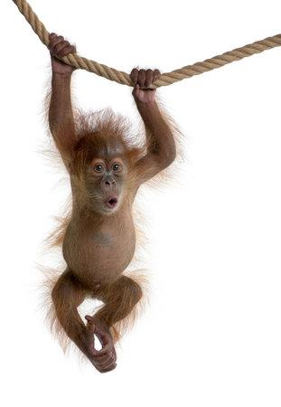monkeys: Orangut�n de Sumatra de beb� colgando de una cuerda, 4 meses de edad, en frente de fondo blanco