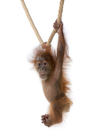 Baby Sumatran Orangutan hanging on rope, 4 months old, in front of white background Stock Photo - 5912283