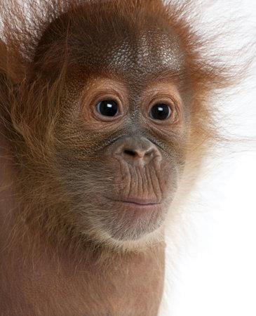 sumatran: Close-up of baby Sumatran Orangutan, 4 months old, in front of white background