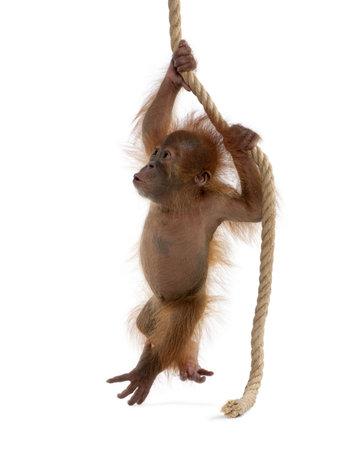 Baby Sumatran Orangutan hanging on rope, 4 months old, in front of white background Stock Photo - 5912303