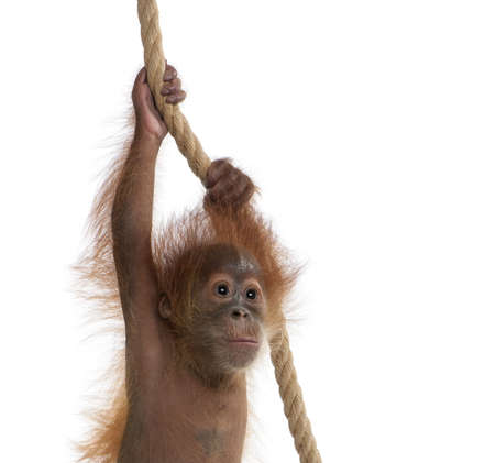 Baby Sumatran Orangutan hanging on rope, 4 months old, in front of white background Stock Photo - 5912246