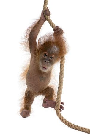 Baby Sumatran Orangutan hanging on rope, 4 months old, in front of white background Stock Photo - 5912043