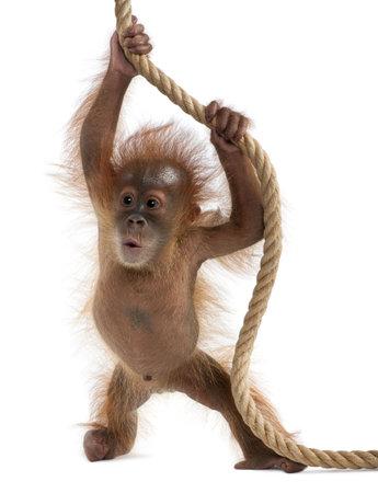 orangutang: Baby Sumatran Orangutan hanging on rope, 4 months old, in front of white background Stock Photo
