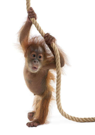 hanging out: Baby Sumatran Orangutan hanging on rope, 4 months old, in front of white background Stock Photo