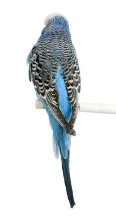 undulatus: Rear view of Blue Budgerigar bird, Melopsittacus undulatus, against white background, studio shot Stock Photo