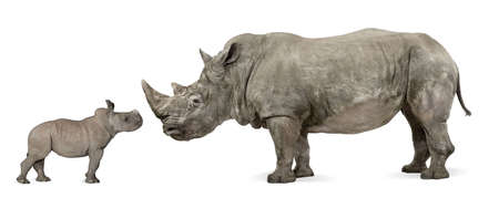 rhinoceros: Mother and baby White Rhinoceros, Ceratotherium simum, 10 years old and 2 months old, in front of a white background