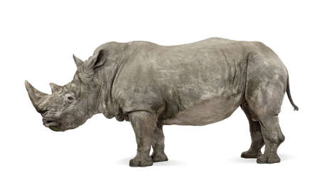 10 years old: White Rhinoceros or Square-lipped rhinoceros, Ceratotherium simum, 10 years old, in front of a white background
