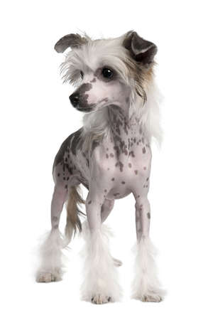 Hairless Chinese Crested dog, 3 years old, standing in front of white background, studio shot photo