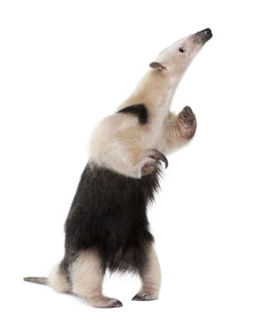 hind: Collared Anteater standing on hind legs, Tamandua tetradactyla, in front of white background Stock Photo