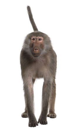 primates: Portrait of Baboon, Simia hamadryas, standing in front of white background, studio shot